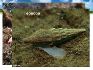 Тропические моллюски конус и теребра имеют ядовитые железы, их яд близок к яд
