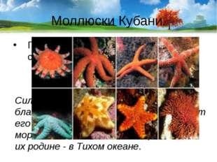 Моллюски Кубани. Почему брюхоногий - моллюск рапан сильно размножился в Черно