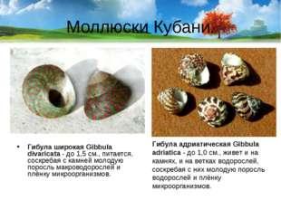 Моллюски Кубани. Гибула широкая Gibbula divaricata- до 1,5 см., питается, со