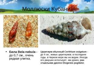 Моллюски Кубани. Бела Bela nebula- до 0,7 см., очень редкая улитка. Церитиум