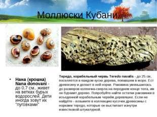Моллюски Кубани. Нана (крошка) Nana donovani- до 0,7 см., живет на ветках бу