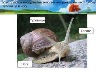 У моллюсков мускулистое тело, на котором различают голову, туловище и ногу. Г