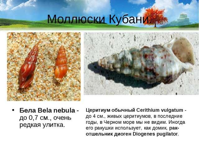 Моллюски Кубани. Бела Bela nebula- до 0,7 см., очень редкая улитка. Церитиум...