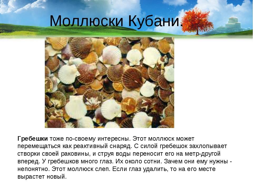 Моллюски Кубани. Гребешки тоже по-своему интересны. Этот моллюск может переме...