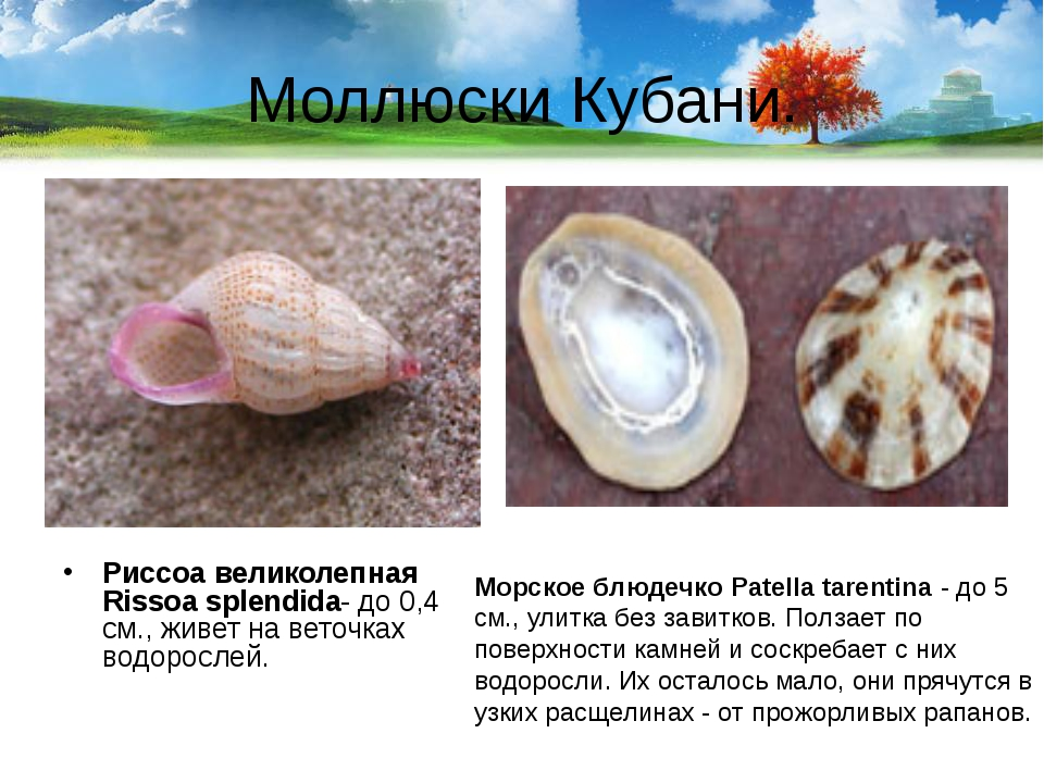 Моллюски Кубани. Риссоа великолепная Rissoa splendida- до 0,4 см., живет на в...