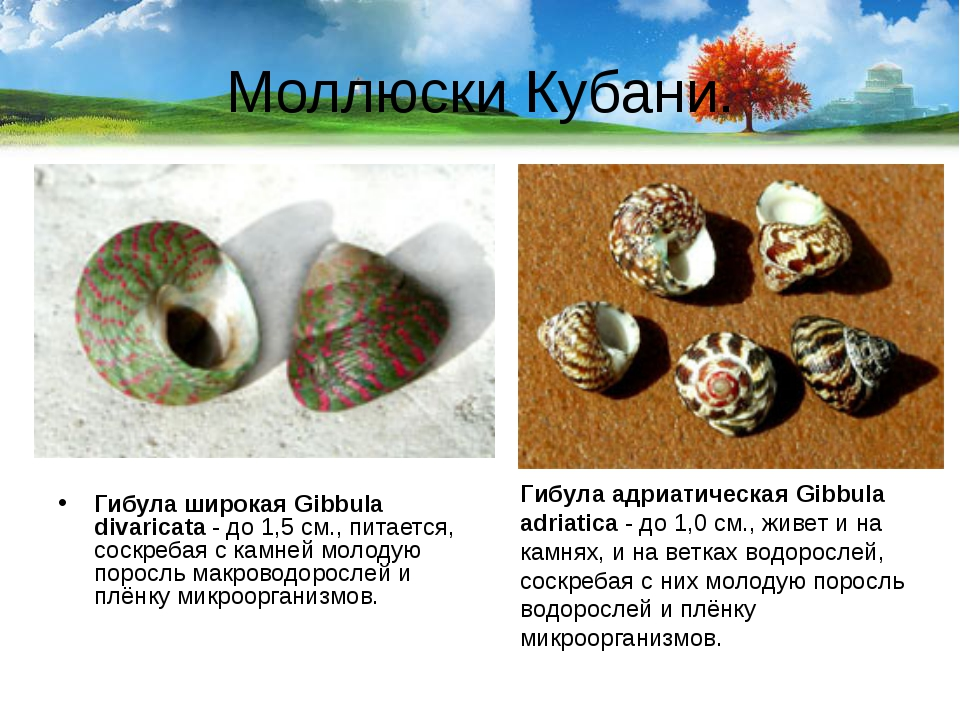 Моллюски Кубани. Гибула широкая Gibbula divaricata- до 1,5 см., питается, со...