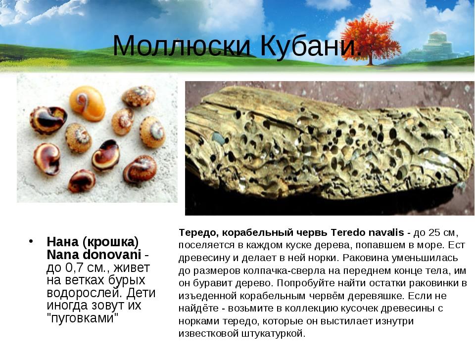 Моллюски Кубани. Нана (крошка) Nana donovani- до 0,7 см., живет на ветках бу...