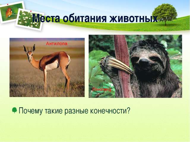 Места обитания животных Почему такие разные конечности? Антилопа Ленивец