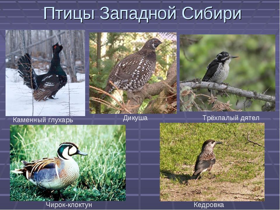хотим картинки птиц сибирских лесов с описанием должна иметь дополнительные
