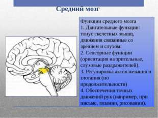 Средний мозг Функции среднего мозга 1. Двигательные функции: тонус скелетных
