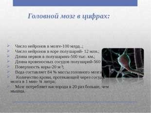 Головной мозг в цифрах: Число нейронов в мозге-100 млрд..; Число нейронов в к