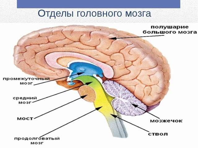 Картинки по запросу отделы головного мозга и за что отвечают