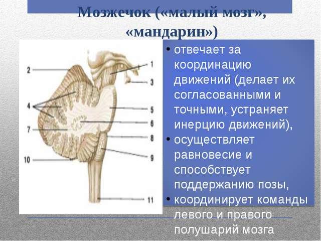 Мозжечок («малый мозг», «мандарин») отвечает за координацию движений (делает...