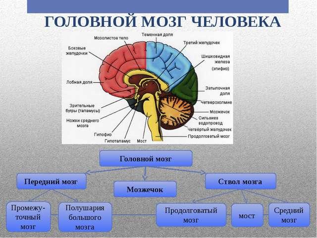 ГОЛОВНОЙ МОЗГ ЧЕЛОВЕКА Головной мозг Передний мозг Ствол мозга Мозжечок Проме...