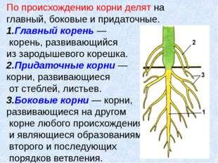 По происхождению корни делят на главный, боковые и придаточные. 1.Главный кор