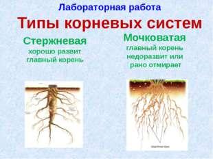Лабораторная работа Типы корневых систем Стержневая хорошо развит главный кор
