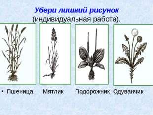Убери лишний рисунок (индивидуальная работа). Пшеница Мятлик Подорожник Одува