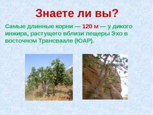 Знаете ли вы? Самые длинные корни — 120 м — у дикого инжира, растущего вблизи