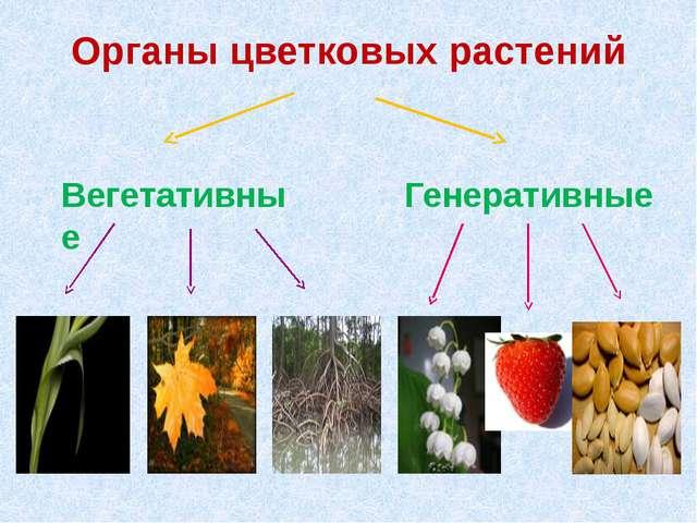 Органы цветковых растений Вегетативные Генеративные