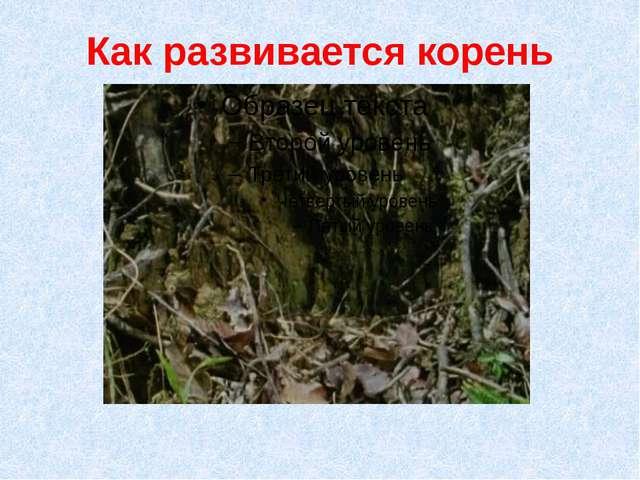 Как развивается корень