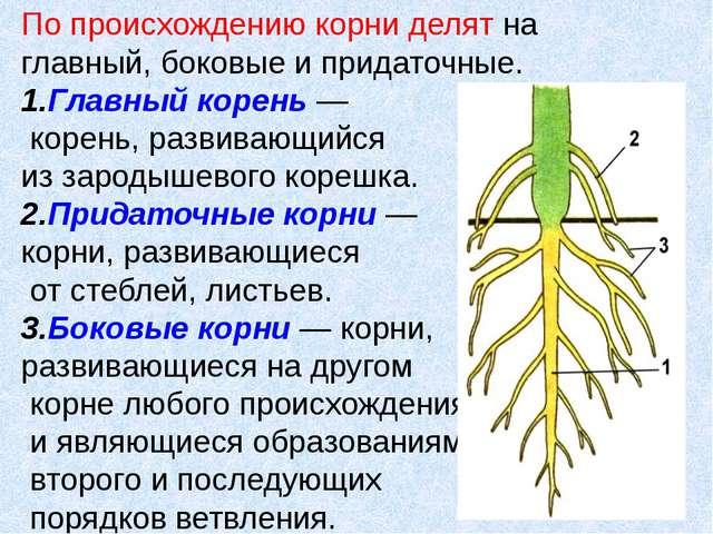 По происхождению корни делят на главный, боковые и придаточные. 1.Главный кор...