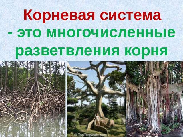 Корневая система - это многочисленные разветвления корня