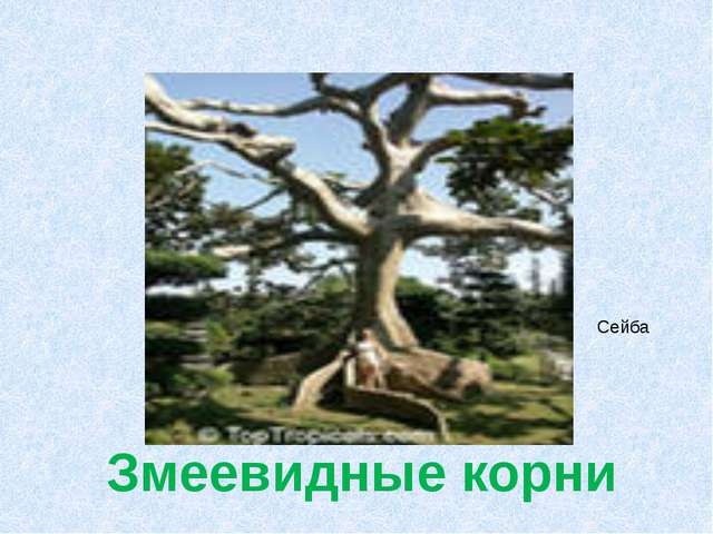 Змеевидные корни Сейба