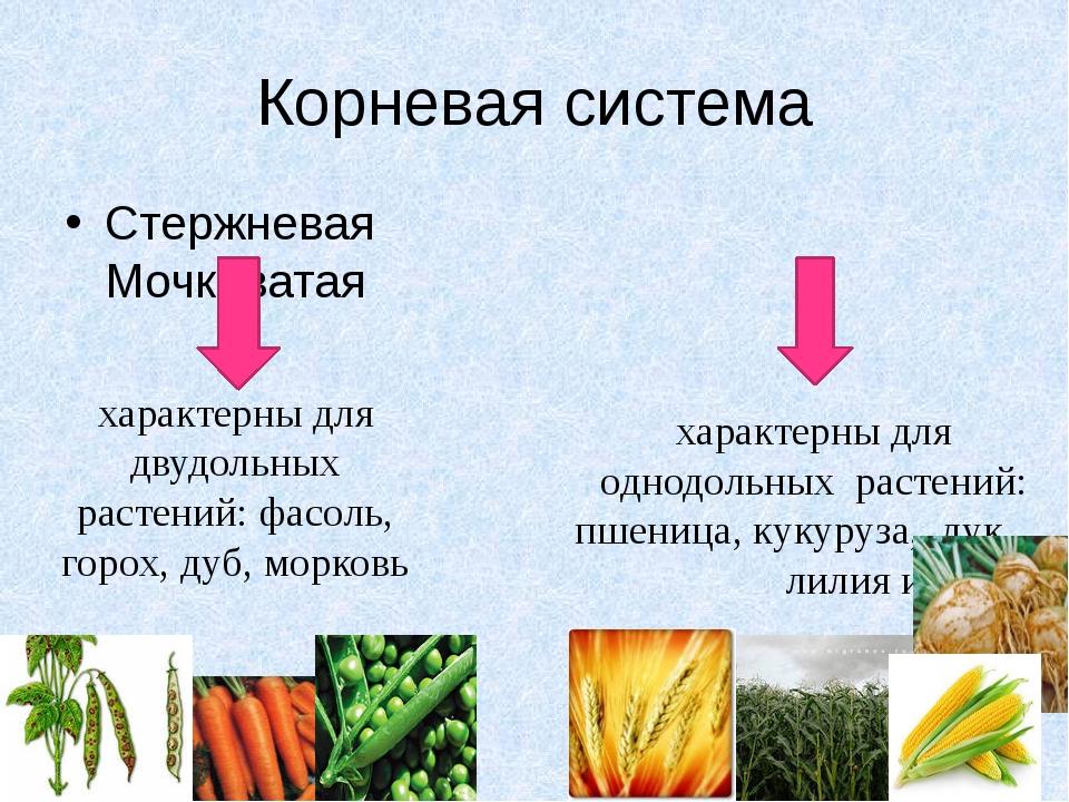 Корневая система Стержневая Мочковатая характерны для двудольных растений: фа...