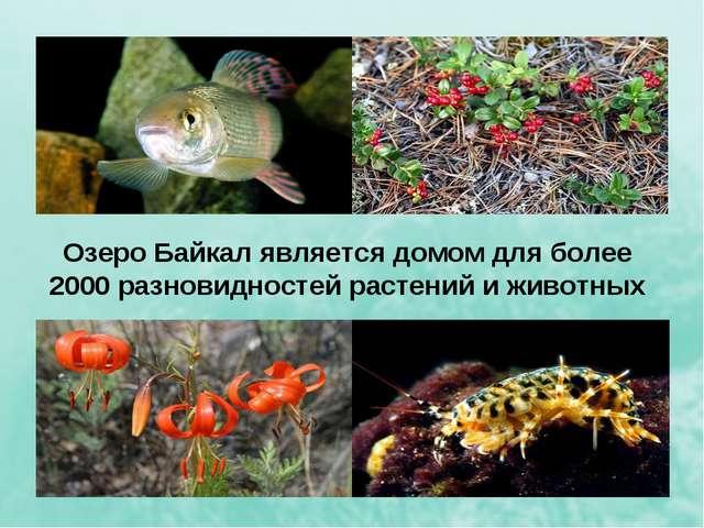 Озеро Байкал является домом для более 2000 разновидностей растений и животных