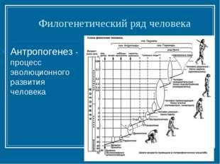 Филогенетический ряд человека Антропогенез - процесс эволюционного развития ч