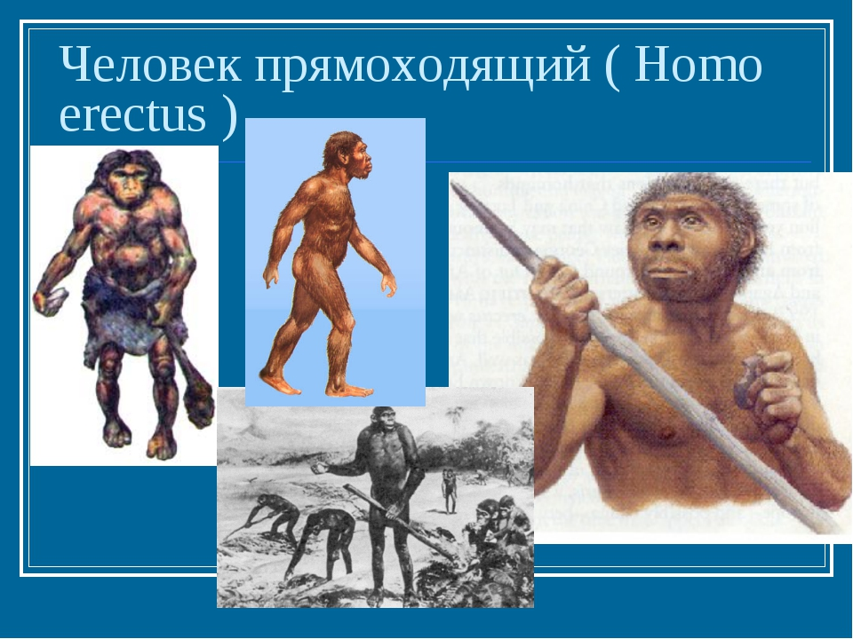 Человек прямоходящий ( Homo erectus )