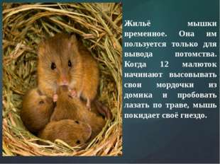 Жильё мышки временное. Она им пользуется только для вывода потомства. Когда 1