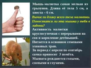 Мышь-малютка самая мелкая из грызунов. Длина её тела 5 см, а хвоста – 6 см. А