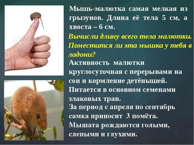 Мышь-малютка самая мелкая из грызунов. Длина её тела 5 см, а хвоста – 6 см. А...