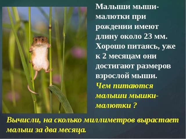 Малыши мыши-малютки при рождении имеют длину около 23 мм. Хорошо питаясь, уже...