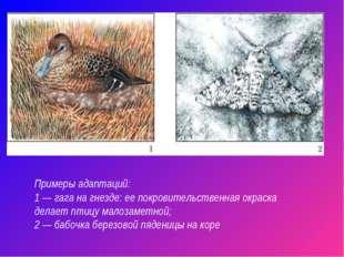 Примеры адаптаций: 1 — гага на гнезде: ее покровительственная окраска делает