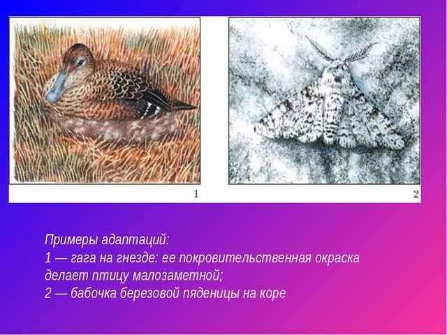 Примеры адаптаций: 1 — гага на гнезде: ее покровительственная окраска делает...