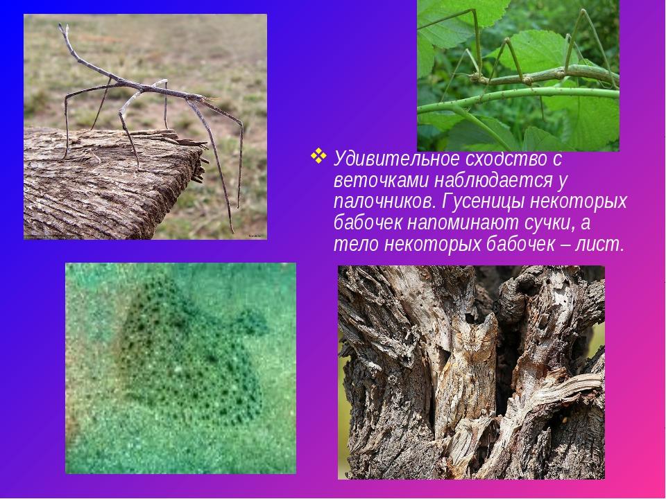 Удивительное сходство с веточками наблюдается у палочников. Гусеницы некоторы...