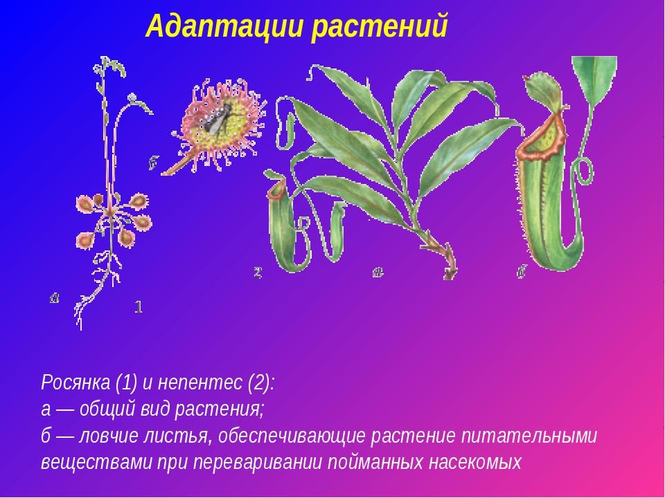 Адаптации растений Росянка (1) и непентес (2): а — общий вид растения; б — ло...