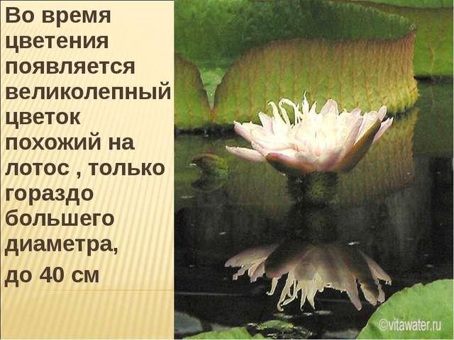 Во время цветения появляется великолепный цветок похожий на лотос , только го...