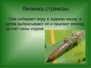 Личинка стрекозы Они набирают воду в заднюю кишку, а затем выбрасывают её и п