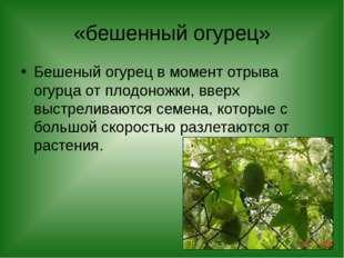 «бешенный огурец» Бешеный огурец в момент отрыва огурца от плодоножки, вверх