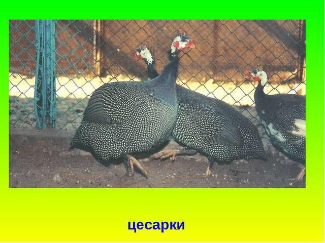 цесарки