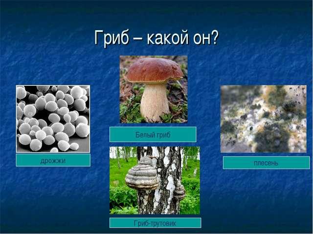 Гриб – какой он? дрожжи плесень Гриб-трутовик Белый гриб