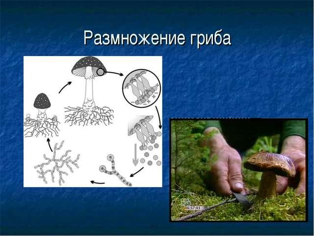 Размножение гриба