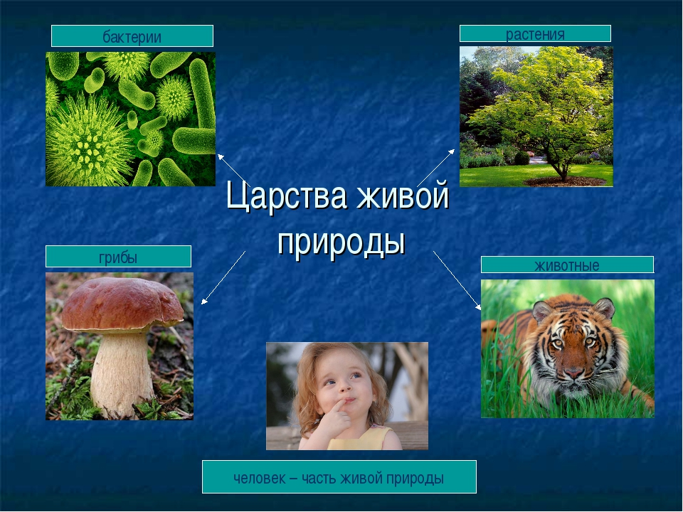 Царства живой природы бактерии растения грибы животные человек – часть живой...