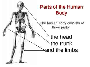 Parts of the Human Body The human body consists of three parts: the head the