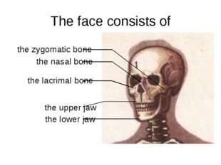 The face consists of the lower jaw the upper jaw the lacrimal bone the nasal