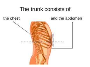 The trunk consists of the chest and the abdomen