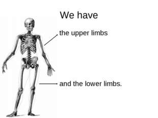 We have the upper limbs and the lower limbs.